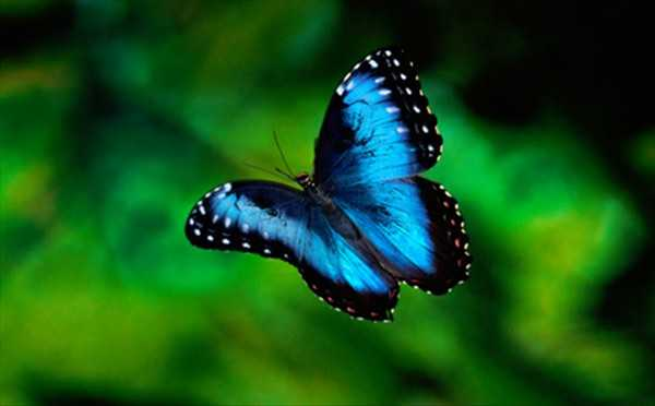 Blue-Marphos-of-tropical-forest